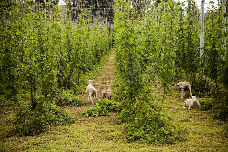 Lambs Hiding in Crop. Hops grow in large plantations, with sheep hiding in the rows royalty free stock photography