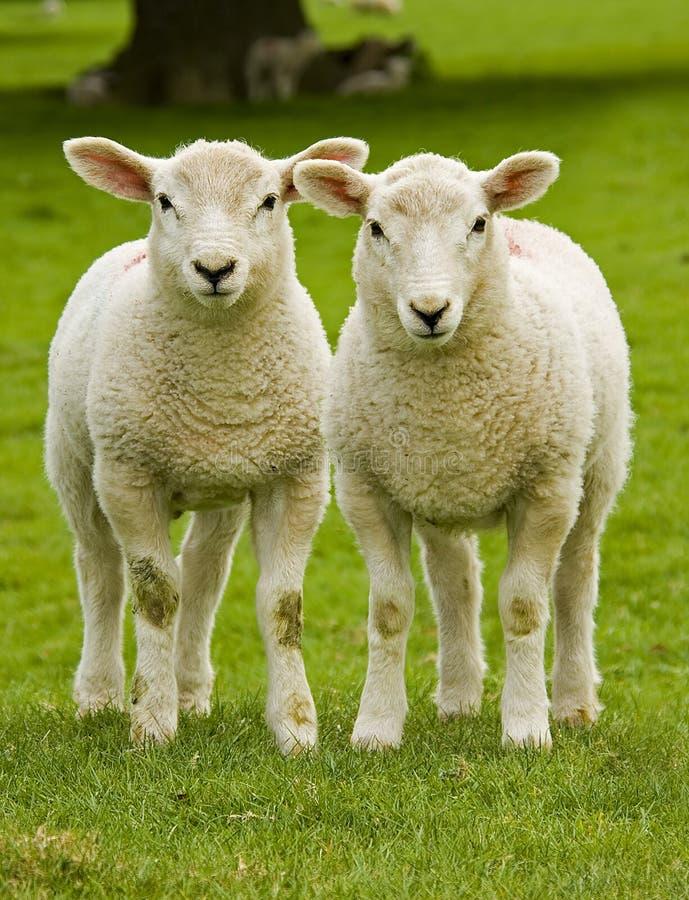 lambs kopplar samman arkivbild