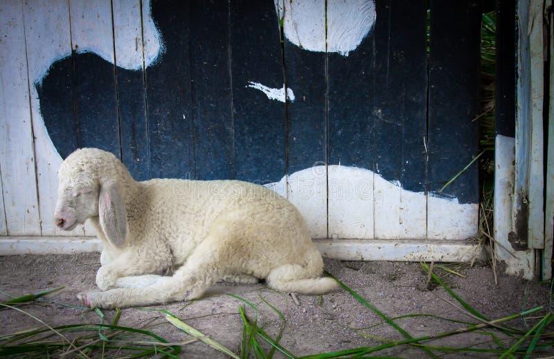 Lambs lying on the ground stock photos