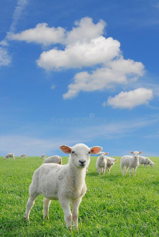 Lambs new stock photos