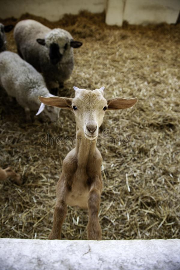 Lambs and sheep farm. Lambs and sheep in animal farm, agriculture and ecology, curious, range, organic, maternal, spring, life, fur, eyes, fluffy, close-up stock photos