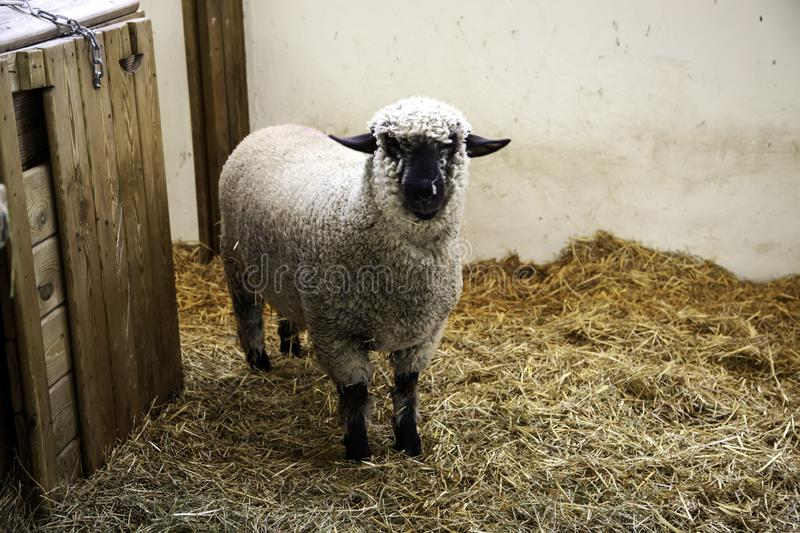 Lambs and sheep farm. Lambs and sheep in animal farm, agriculture and ecology, curious, range, organic, maternal, spring, life, fur, eyes, fluffy, close-up royalty free stock photo