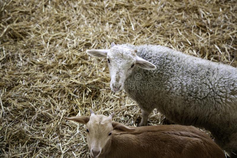 Lambs and sheep farm. Lambs and sheep in animal farm, agriculture and ecology, curious, range, organic, maternal, spring, life, fur, eyes, fluffy, close-up stock photo