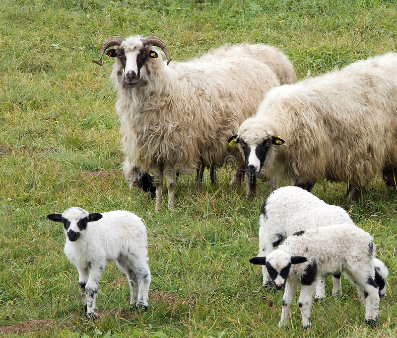 Lambs and sheeps royalty free stock photography