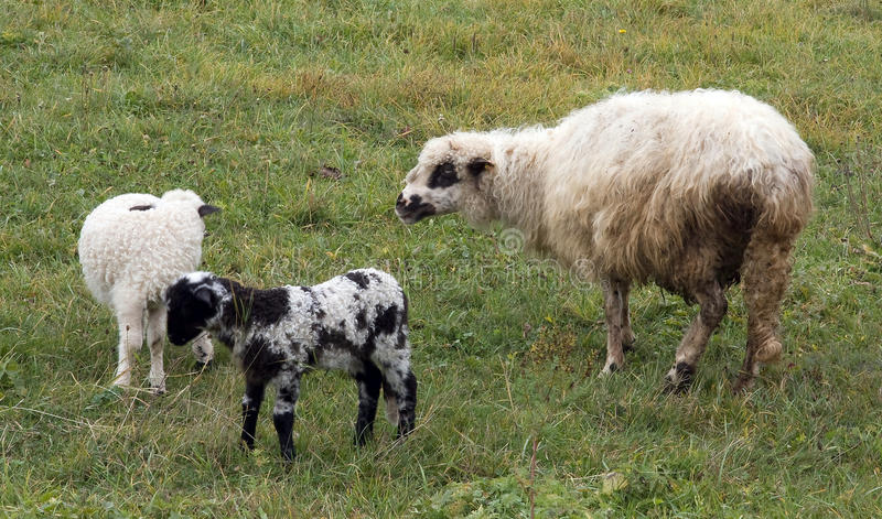 Lambs and sheeps royalty free stock images