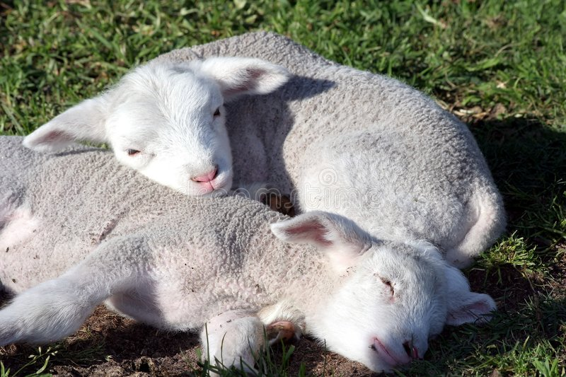 Download Lambs Sleeping stock image. Image of sheep, infants, tail - 3380261