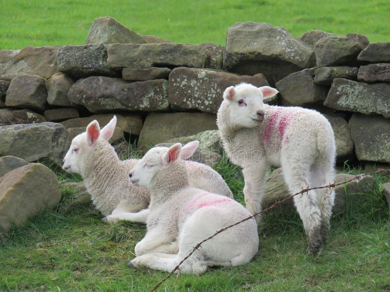 Lambs royalty free stock photos