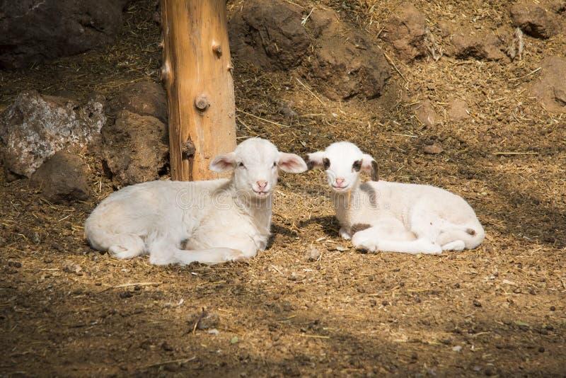 Lambs royalty free stock image