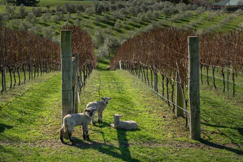 Lambs in vinyard. In New Zealand royalty free stock photo