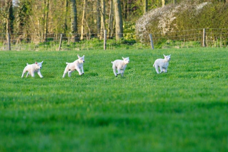 lambsfjäder arkivfoton