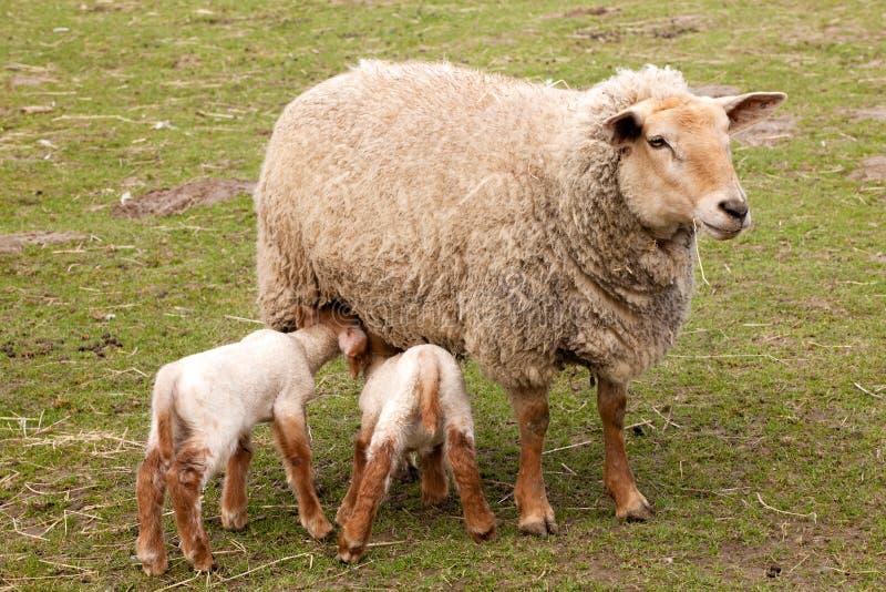 lambsmoderfår kopplar samman royaltyfri fotografi