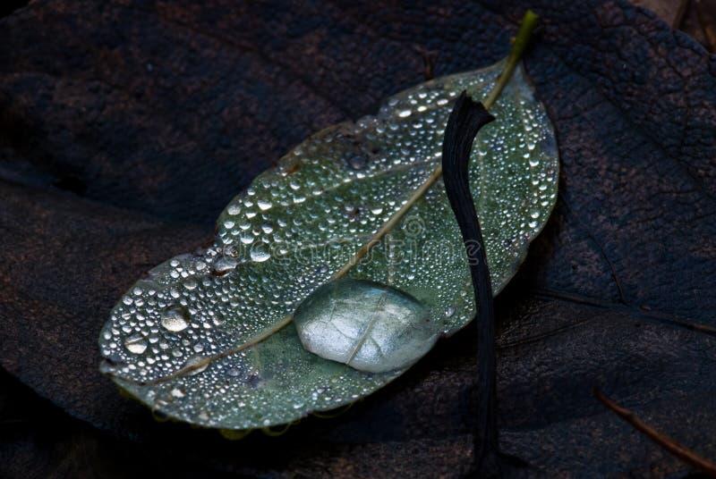 Lame à feuilles caduques avec la goutte de l'eau image stock