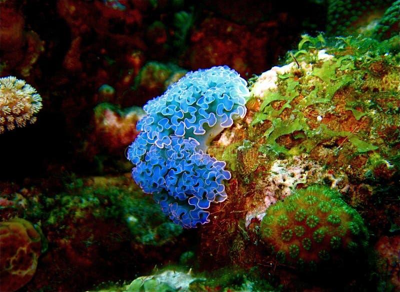 Lame bleue Nudibranch de laitue images stock