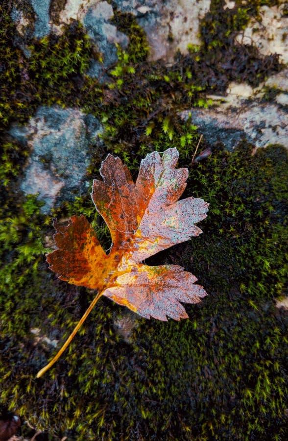 Lame d'érable colorée par automne photographie stock libre de droits