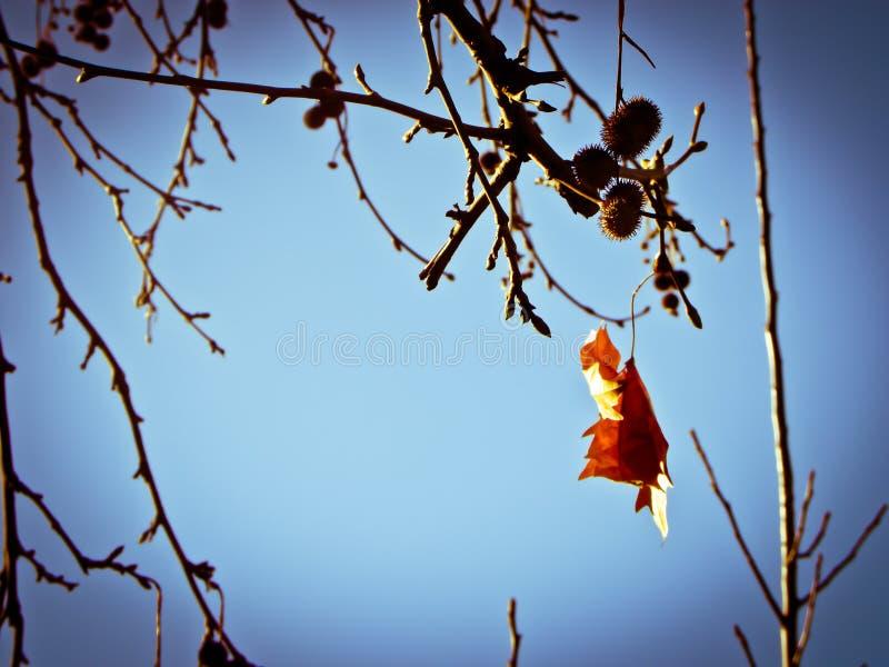 Lame d'érable d'automne images libres de droits