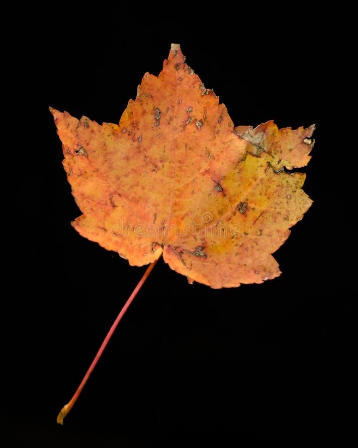 Lame d'érable dans l'automne image libre de droits