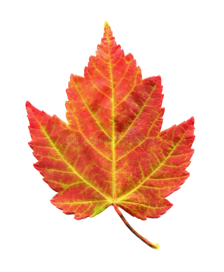 Lame d'érable dans le feuillage d'automne photos stock