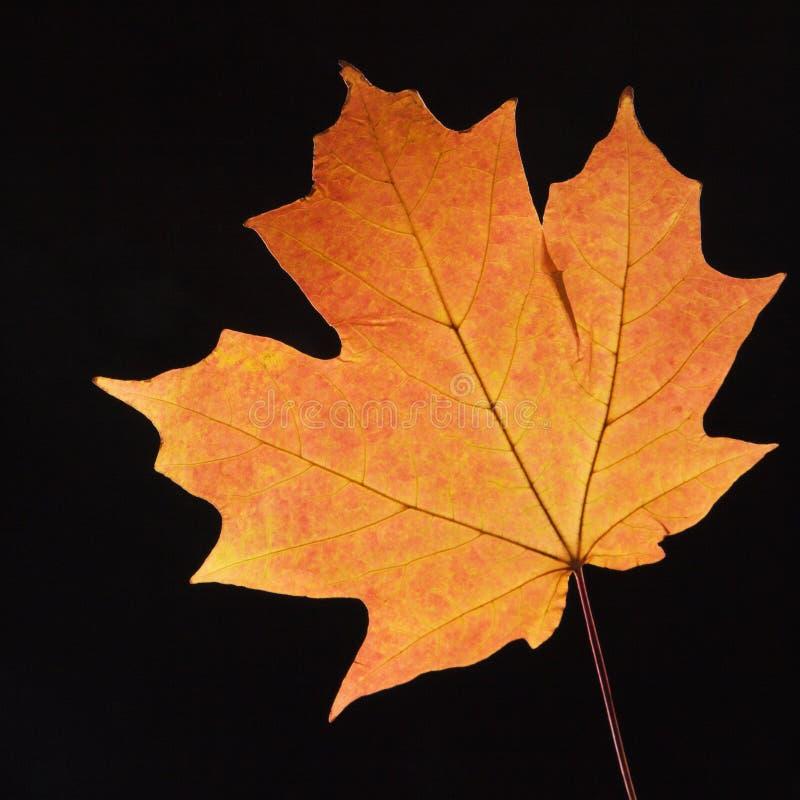 Lame d'érable orange sur le noir. photo libre de droits