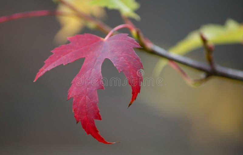 Lame d'érable rouge photo stock