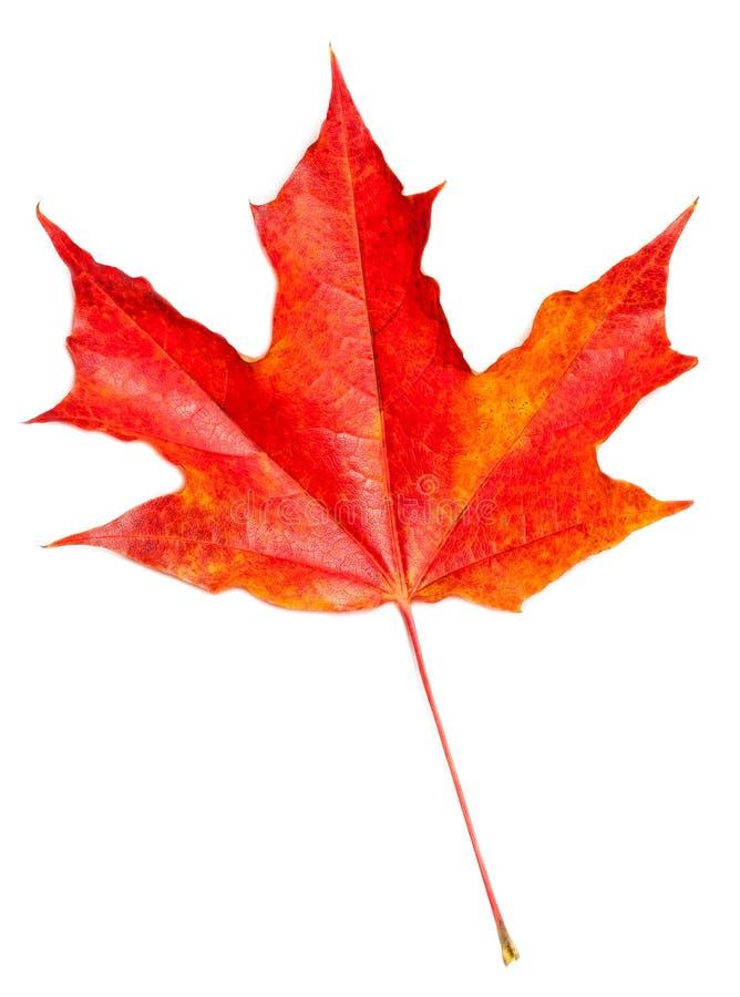 Lame d'automne Feuille d'érable rouge d'automne d'isolement sur un backgroun blanc image stock
