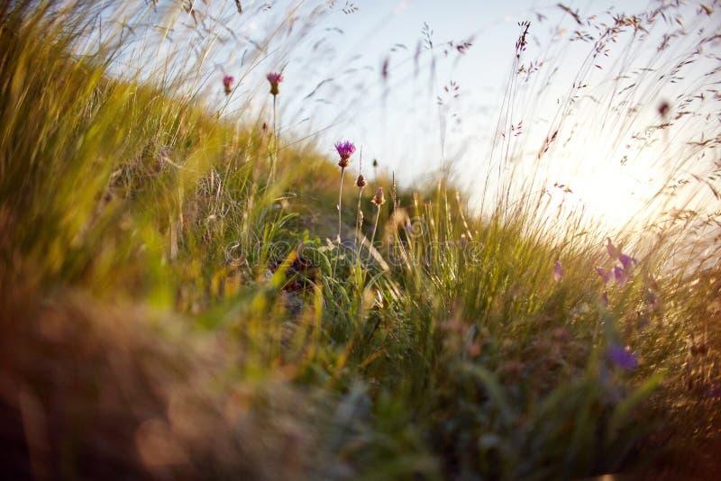 Lame d'herbe balançant dans le vent dans les macro clo de photo de coucher du soleil photos stock
