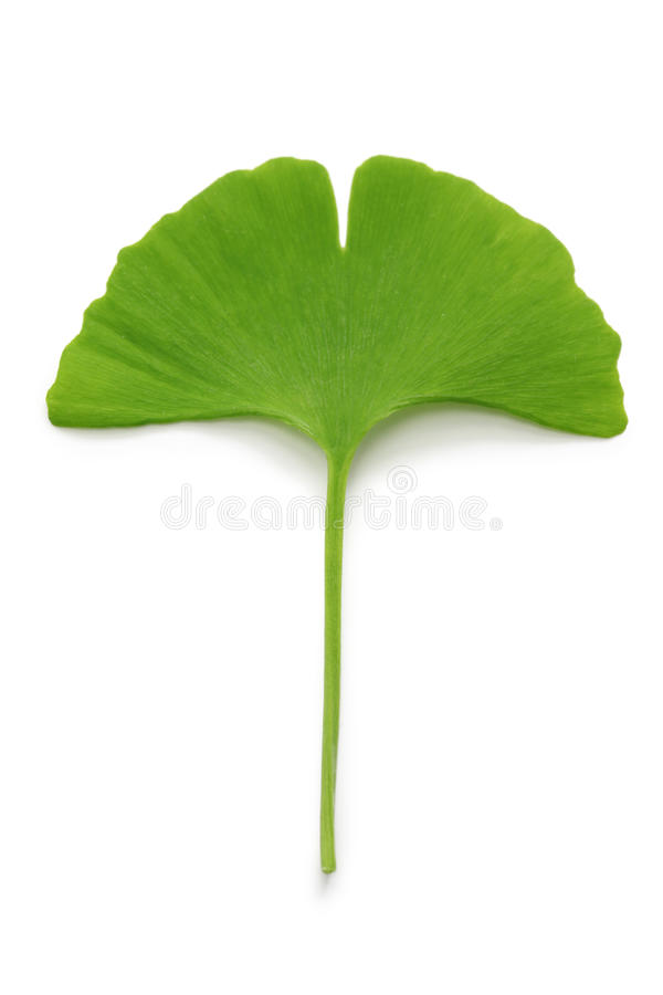 Lame de biloba de Ginkgo photo libre de droits