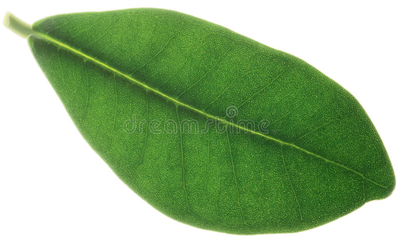 Lame de ficus photos stock