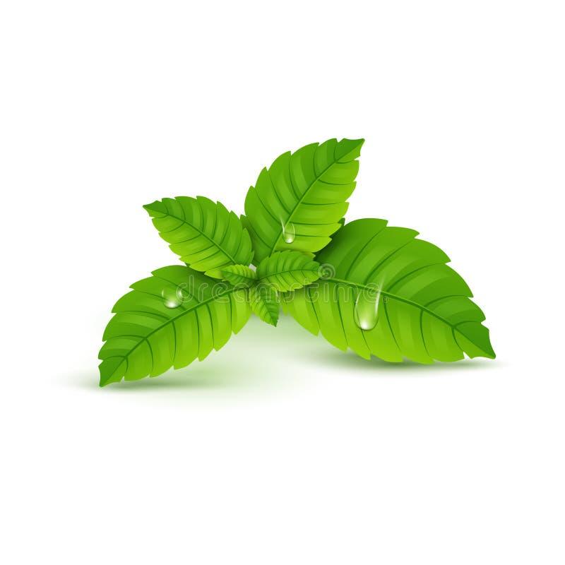Lame de menthe fraîche Arome sain de menthol de vecteur Usine de fines herbes de nature Feuilles vertes de menthe verte illustration de vecteur
