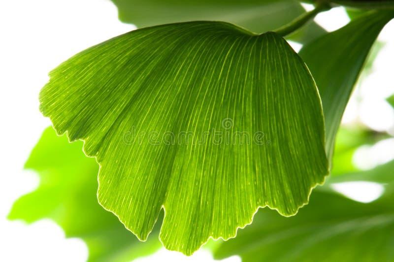 Lame de vert de biloba de Ginkgo image stock
