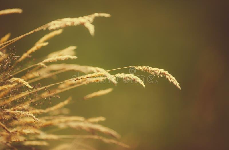 Lame di erba asciutta sopra un fondo vago fotografia stock libera da diritti