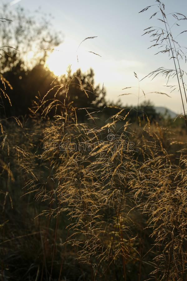 Lame di erba con la lampadina del tramonto fotografie stock