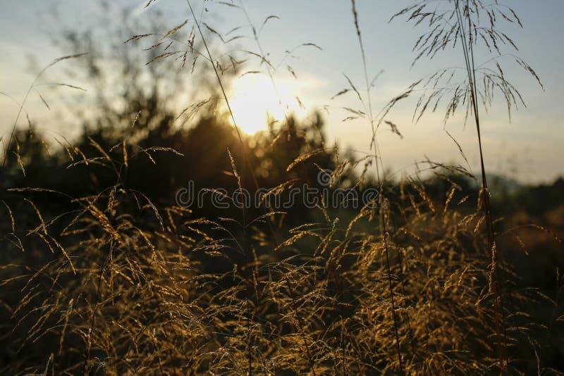 Lame di erba con la lampadina del tramonto fotografia stock libera da diritti