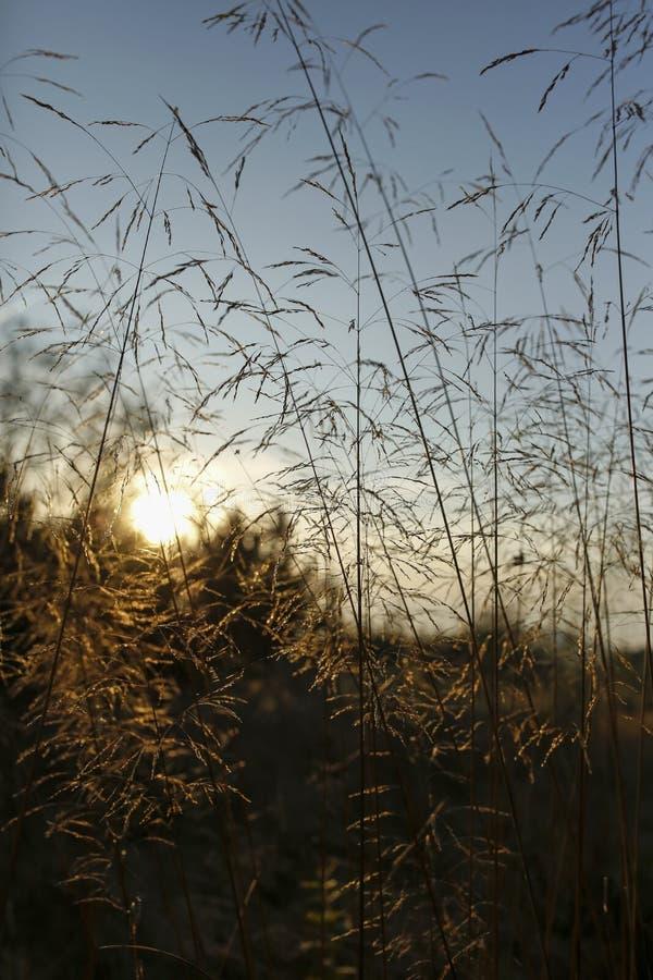 Lame di erba con la lampadina del tramonto immagine stock