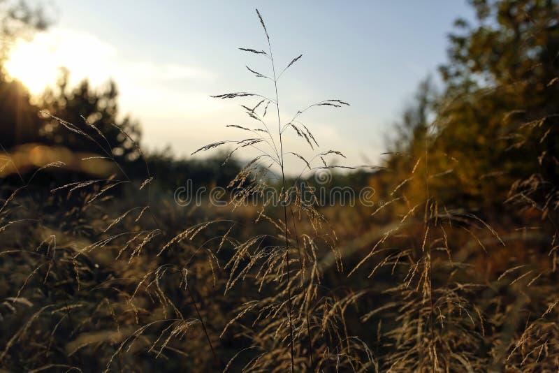 Lame di erba con la lampadina del tramonto fotografia stock