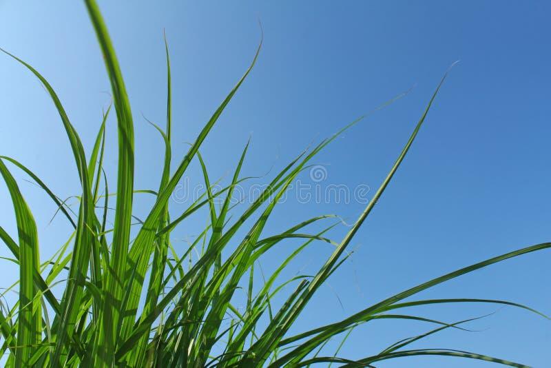 Lame di erba verdi fotografia stock