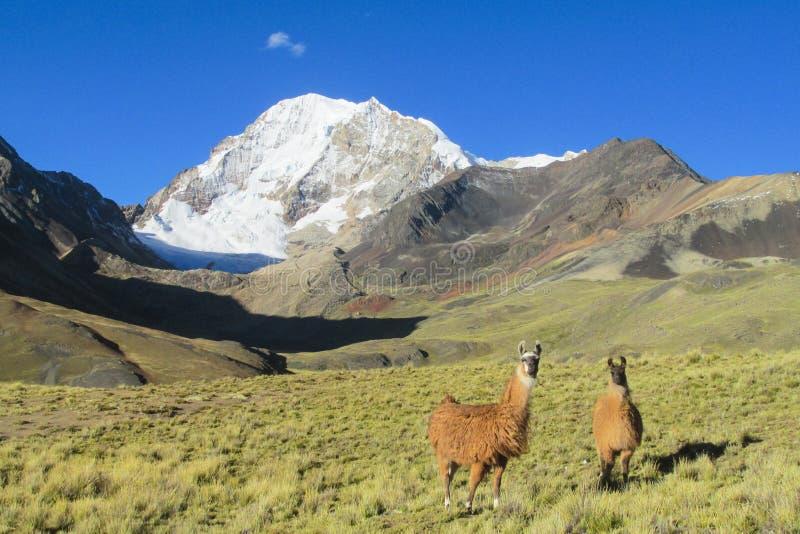 Lame nelle Ande, Bolivia immagini stock libere da diritti