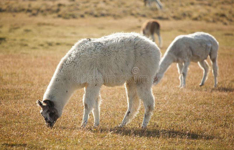 Lame Patagonian nel Cile fotografie stock