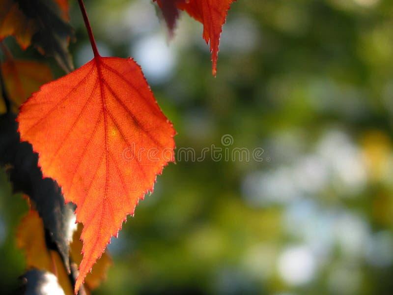 Lame rouge d'automne photo stock