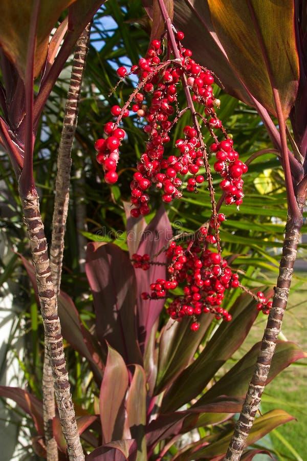 Lame Rouge Hawaïenne De Ti Et Baies Rouges Photos stock