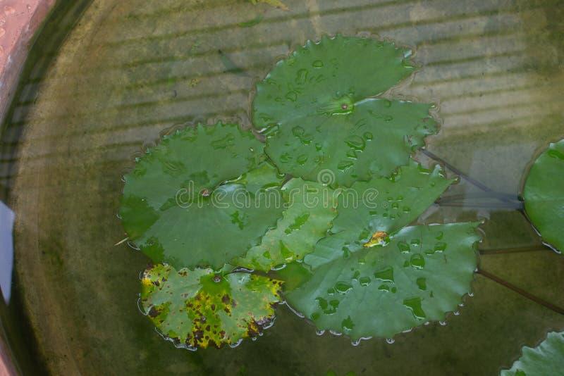 Lame verte de lotus avec la baisse de l'eau comme fond photographie stock libre de droits
