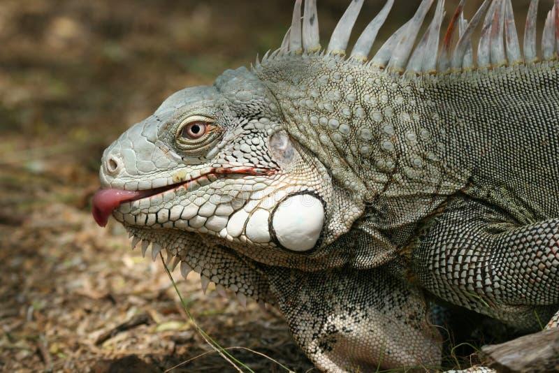 Download Lamedura de la iguana imagen de archivo. Imagen de extraño - 1294011