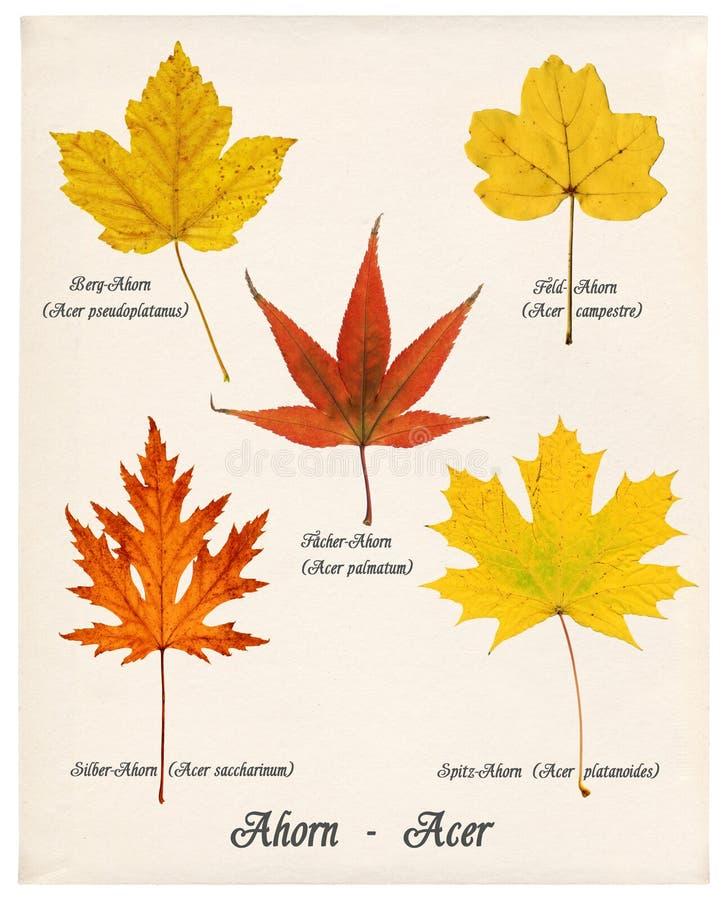 Lames colorées d'érable d'automne illustration stock