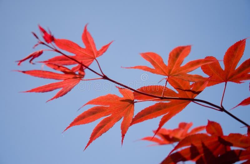 Lames d'érable japonais photo libre de droits