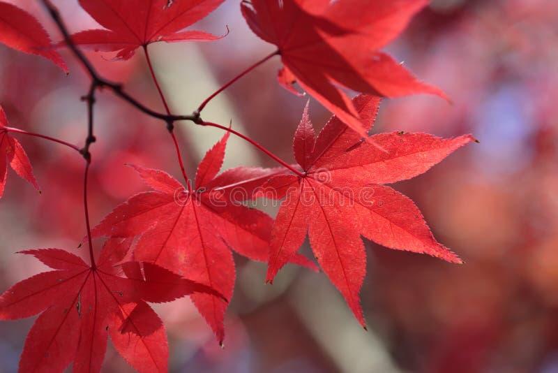 Lames d'érable rouge images stock