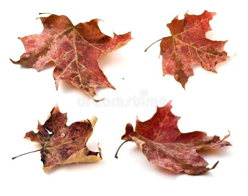 Lames d'érable rouge d'automne photos libres de droits