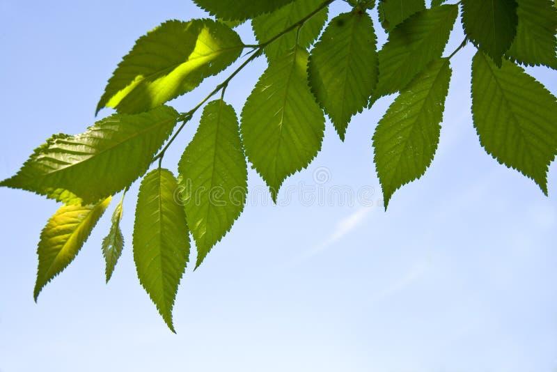 Lames d'arbre image libre de droits