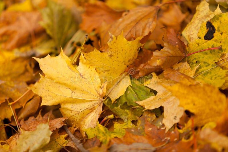 Lames d'automne d'un érable images stock