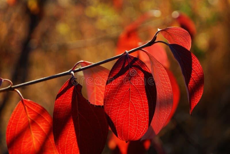 Lames d'automne rouges images stock