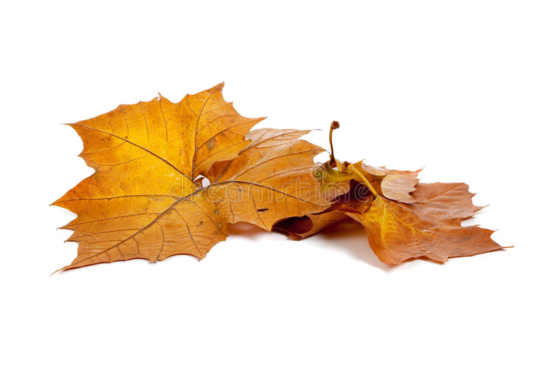 Lames d'or d'automne sur un fond blanc photos stock