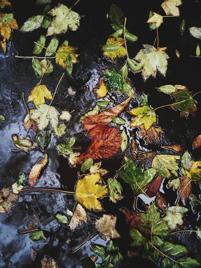2008 lames d'or de lame de plantation d'automne sec d'automne d'air près de chêne octobre Russie tourne qui enroulent le jaune photos libres de droits